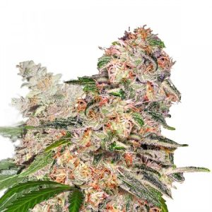 BLUE DREAM XTRM FEMINIZED